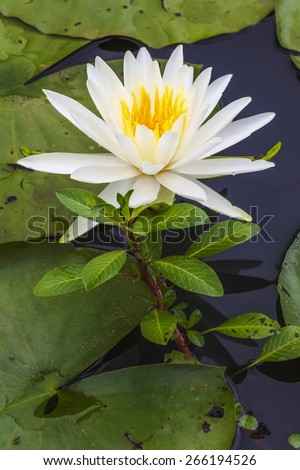A white white and yellow Lotus Flower in a lily pond.  The petals of the flower are soft and delicate. - stock photo