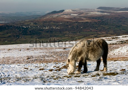 A white wild horse feeds on grass sticking through the snow with a mountains background