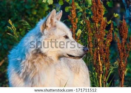 A white wolf looking for its next meal - stock photo