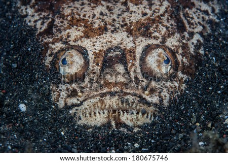A Whitemargin stargazer (Uranoscopus sulphureus) hides itself in volcanic sand in Lembeh Strait, Indonesia. This ambush predator lures prey close using a tongue that mimics a polychaete worm. - stock photo