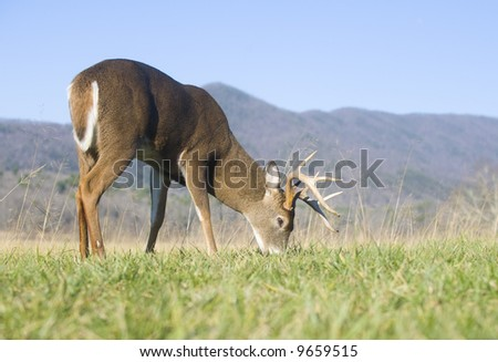 A whitetail buck grazes in an open field in Tennessee - stock photo