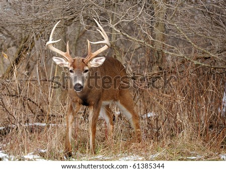 A whitetail deer buck coming out of a thicket in the rutting season. - stock photo