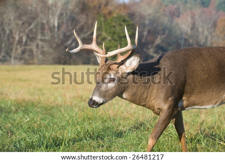 A whitetail deer buck makes its way through a field on a bright day in Smoky Mountain National Park - stock photo
