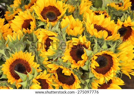 A whole bunch of sunflowers - stock photo