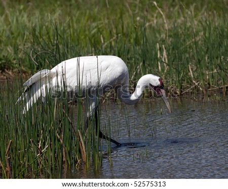 A Whooping Crane wading and feeding in a marsh.