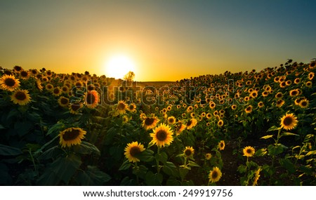 A wide angle image of a sunflower field taken in a valley at dusk. - stock photo