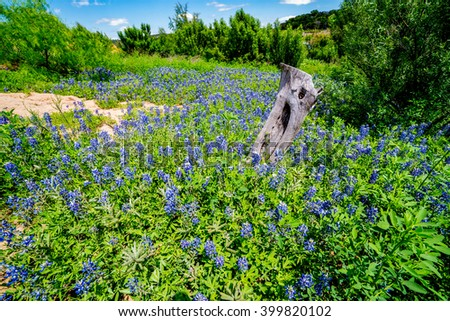 A Wide Angle View of a Beautiful Field or Meadow Blanketed with the Famous Texas Bluebonnet (Lupinus texensis) Wildflowers and an Old Dead Tree Trunk.  An Amazing Display at Muleshoe Bend in Texas. - stock photo