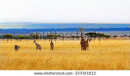 A wide angled view of a herd of giraffes on the savannah in the Masai Mara - stock photo