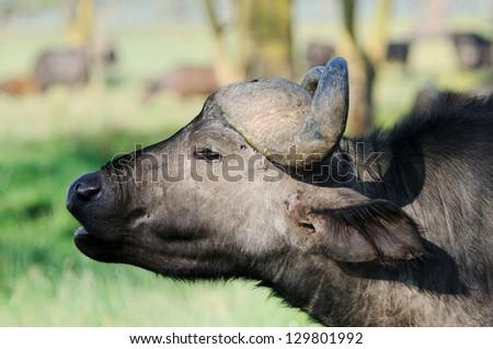 A WILD African buffalo portrait, Lake Nakuru, Kenya - stock photo