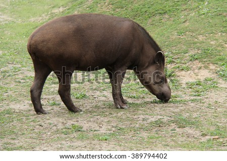 A Wild Animal South American Tapir Eating Grass.