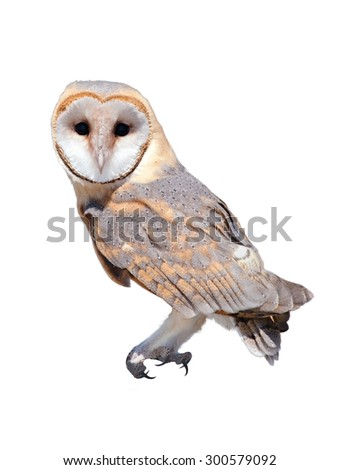 A wild barn owl isolated white background
