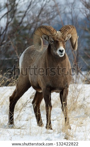 A wild bighorn sheep showing off his impressive horns - stock photo