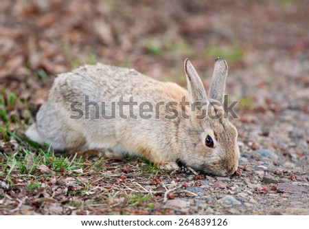 A wild Bush Rabbit nibbling on the first spring greenery.  Alberta, Canada. - stock photo