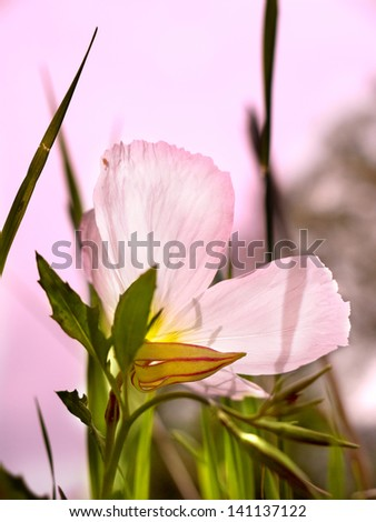 A wild buttercup with light shining through the petals. - stock photo