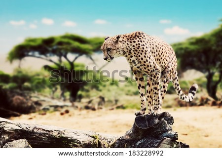 A wild cheetah about to attack, hunt, sitting on a dead tree. Safari in Serengeti, Tanzania, Africa. - stock photo