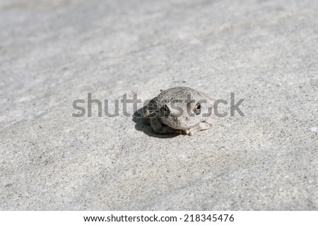A wild grey Californian Treefrog blending into stone