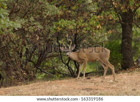 a wild indigenous male (buck) Black-tailed deer (odocoilus Hemionus) in California - stock photo