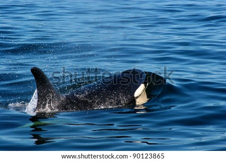 A wild killer whales breaching in the ocean outside of Vancouver Island British Columbia Canada - stock photo