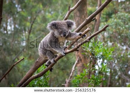 A wild Koala climbing a tree. soft focus - stock photo
