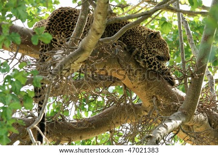 A wild leopard crouching on top of a tree in Kenya - stock photo