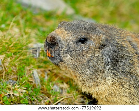 a wild marmot  or ground squirrel looking curious