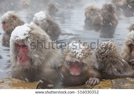 A wild monkey that enters a hot spring. Snow monkey in Japan.My body is warm and sleepy.