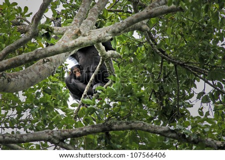 A WILD Mother and Baby Endangered Chimpanzee (Pan troglodytes), also known as the Robust Chimpanzee, in Uganda, Africa. - stock photo
