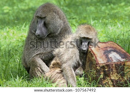 A WILD Olive Baboon (Papio anubis), also called the Anubis baboon, pair bonding, grooming, and socializing in Lake Nakuru, Kenya, Africa. - stock photo