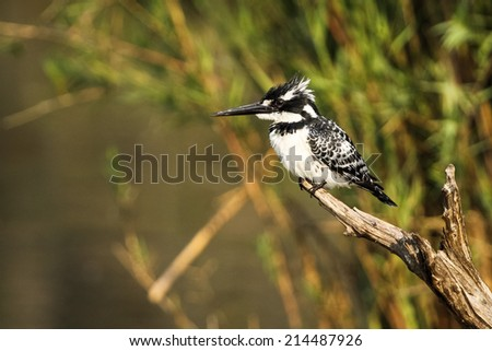 A wild Pied Kingfisher bird perched on a dead branch - stock photo