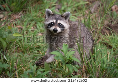 A wild raccoon looks up while it looks for food on the ground. - stock photo