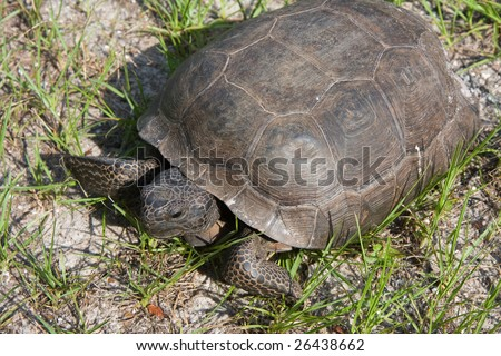 A wild tortoise crawling about Washington Oaks Gardens State Park in Florida