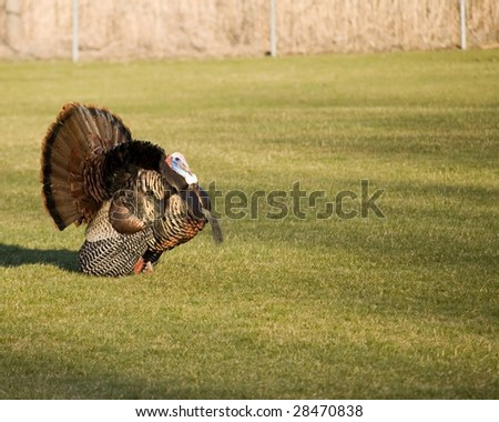 A wild turkey strutting on the grass.