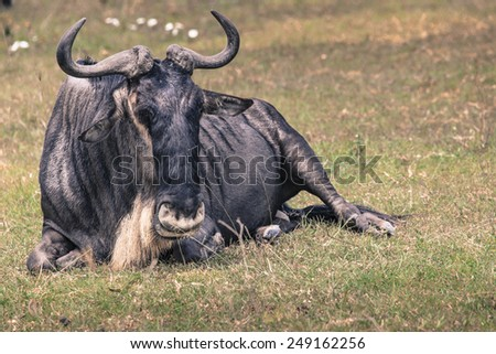 A Wildebeest mother and newly born calf, Ngorongoro Crater, Tanzania. - stock photo