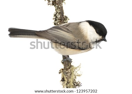 a willow tit (Poecile montanus or Parus Montanus) bird against a snowy background - stock photo