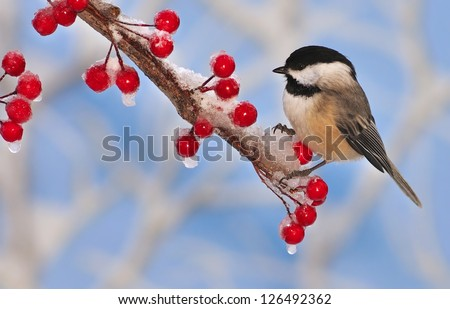 A winter Black- capped Chickadee (Poecile atricapillus) on an icy branch laden with bright red berries. - stock photo