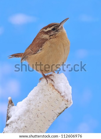 A winter Carolina Wren (Thryothorus ludovicianus) on a snowy birch stump with blue sky in the background. - stock photo