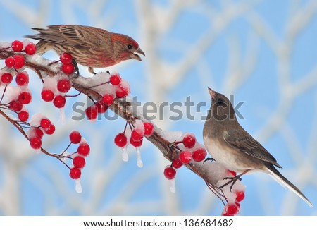 A winter House Finch (Carpodacus mexicanus) and a Dark- eyed Junco (Junco hyemalis) sharing the same winter branch. The finch is obviously having a bad day! - stock photo