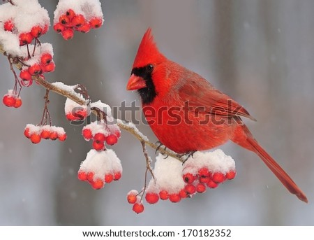 A winter Northern Cardinal (Cardinalis cardinalis) on a snow- covered branch full of bright red hawthorn berries. - stock photo