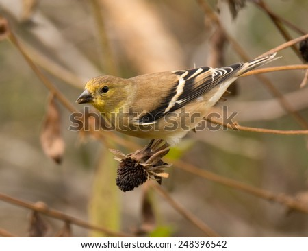 A winter plumaged American Goldfinch feeds on the seedhead of a midwest garden flower. - stock photo