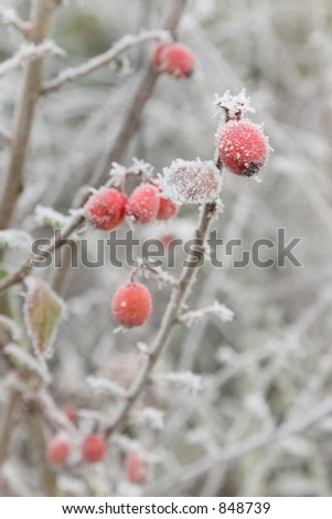 A wintery frosty frozen berry in red and white. - stock photo