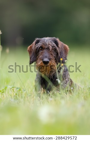 A wire-haired dachshund portrait in the grass - stock photo