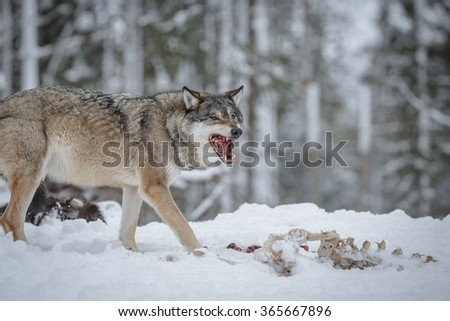 A wolf feeds on meat in Scandinavia - stock photo
