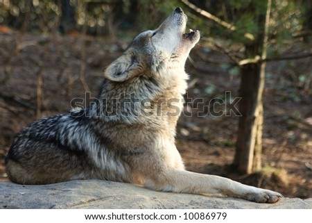 A Wolf Howling - stock photo