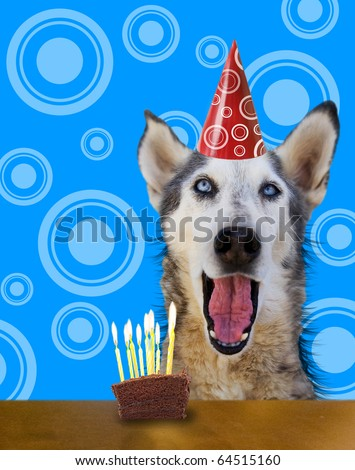 a wolf husky in front of a piece of cake - stock photo