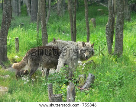 A wolf pack - stock photo