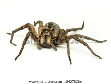 a wolf spider isolated on a white background - stock photo