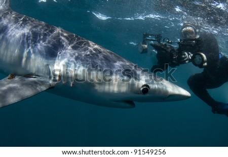 a woman photographs a blue shark underwater - stock photo