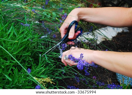 A woman's hands cutting lavender - stock photo
