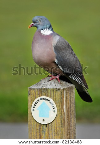 A Wood Pigeon perched on a Bridleway Signpost - stock photo