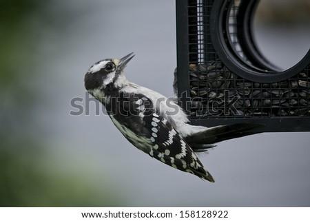 a woodpecker hanging in a bird feeder - stock photo